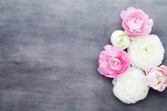 美丽的色的毛茛属在灰色背景开花 库存照片