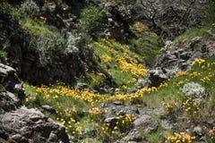 美丽的花使山环境美化 开花的水仙在特内里费岛 Teide国家公园 库存照片