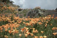 美丽的花使山环境美化 开花的水仙在特内里费岛 Teide国家公园 免版税库存照片