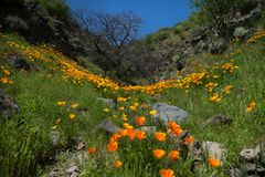 美丽的花使山环境美化 开花的水仙在特内里费岛 Teide国家公园 图库摄影