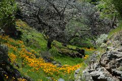美丽的花使山环境美化 开花的水仙在特内里费岛 Teide国家公园 库存图片