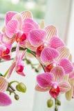 美丽的花兰花,桃红色兰花植物 图库摄影