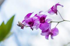 美丽的花兰花 免版税库存照片
