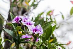 美丽的花兰花 库存照片