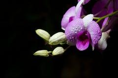 美丽的花兰花 图库摄影