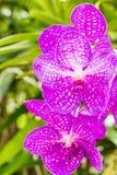 美丽的花兰花 库存图片
