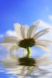 美丽的花反射的水 免版税库存照片