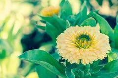 美丽的花和绿色叶子背景在庭院里在晴朗的夏天或春日 免版税库存图片