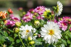 美丽的花和绿色叶子背景在庭院里在晴朗的夏天或春日 库存图片