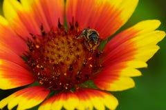 美丽的花和蜜蜂特写镜头在夏时 免版税库存图片
