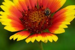 美丽的花和蜜蜂特写镜头在夏时 免版税库存照片