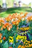 美丽的花园 开花在春天公园的明亮的郁金香 与装饰植物的都市风景 库存照片