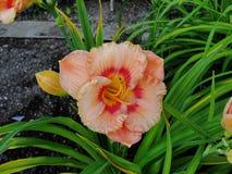 美丽的花在夏天庭院里 与一个黑暗的中心和桔子特里黄花菜的大黄色 免版税库存照片