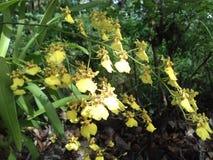 美丽的花在斯里兰卡 免版税库存图片