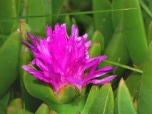 美丽的花在澳大利亚 免版税库存照片