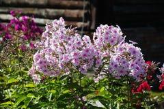 美丽的花在秋天庭院里 福禄考五瓣桃红色白花  免版税库存图片
