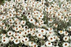 美丽的花在Kirstenbosch全国植物园里 库存图片