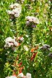 美丽的花在Kirstenbosch全国植物园里 库存照片