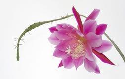 美丽的花多汁植物 免版税库存图片