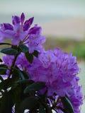 美丽的花宏观照片与紫色树荫的瓣的在杜鹃花的灌木的分支的 免版税库存照片