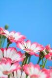 美丽的花延命菊 免版税库存照片