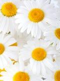 美丽的花延命菊 库存照片