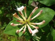 美丽的花忍冬属植物 免版税图库摄影