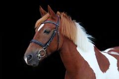 美丽的花斑威尔士小马画象 免版税库存照片