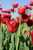 美丽的花春天郁金香 库存图片