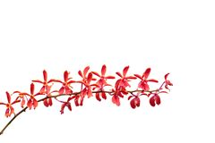 美丽的花束红色泰国兰花开花在植物园里 免版税库存照片