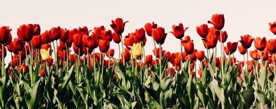 美丽的花束郁金香 五颜六色的郁金香 郁金香在春天s 免版税图库摄影
