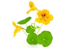 美丽的花查出的橙色白色 免版税图库摄影