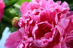 美丽的花桃红色牡丹 库存图片