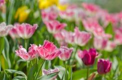美丽的花桃红色郁金香 免版税图库摄影