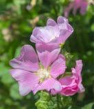 美丽的花桃红色野生植物 背景细部图花卉向量 免版税库存图片