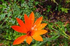 美丽的花桔子 免版税图库摄影