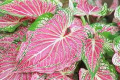 美丽的花梢有叶的贝母双色的植物 库存图片
