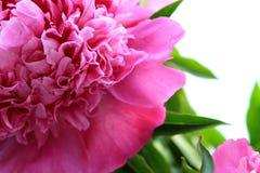 美丽的花牡丹 免版税库存照片