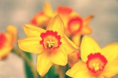 美丽的花特写镜头 开花黄水仙黄色 免版税库存图片