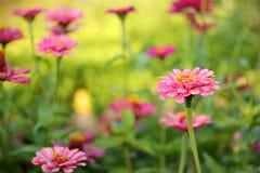 美丽的花百日菊属 免版税库存照片