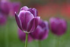 美丽的花紫色郁金香 免版税图库摄影