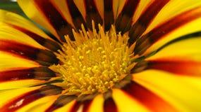 美丽的花红色黄色 免版税库存图片