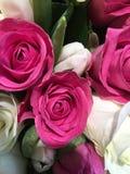 美丽的花绿色自然庭院太阳秀丽春天桃红色玫瑰 库存照片