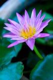 美丽的花莲花 库存照片