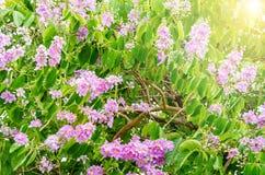 美丽的花软的焦点,泰国花Tabak 免版税库存图片
