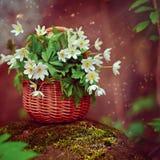 美丽的花银莲花属nemorosa在神仙的森林里 图库摄影