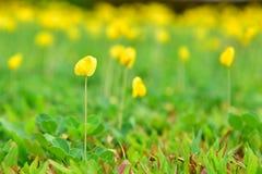 美丽的花马花生在小庭院里 黄色落花生属pintoi flo 库存照片