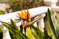 美丽的花鹤望兰reginae在庭院里 环境美化 图库摄影