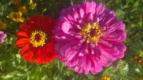 美丽的花,两朵花,红色,橙色花,盛放的花 免版税库存照片