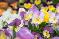 美丽的花,五颜六色的花背景 库存图片